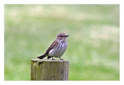 Spotted Flycatcher (Muscicapa striata), Gorhambury Estate, St Albans, Hertfordshire, 28/06/2011.