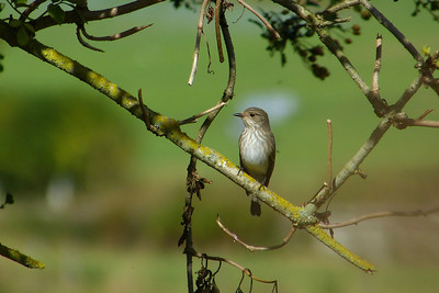 Spotted Flycatcher (Muscicapa striata), Great Gaddesden (Watercress Beds), Hertfordshire, 13/09/2012. This was the bird's preferred fly-catching perch.