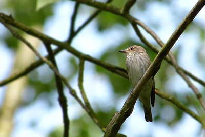 Spotted Flycatcher (Muscicapa striata), Wilstone reservoir, Hertfordshire, 28/06/2012. In the tangle of branches, the little Flycatcher briefly caught the sun-light as the thick, leaf canopy blew in the winds.