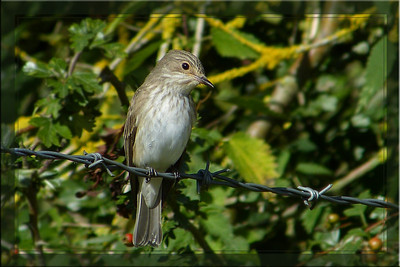 Spotted Flycatcher (Muscicapa striata), Great Gaddesden (Watercress Beds), Hertfordshire, 13/09/2012. A really messy, distracting background but I liked the little chap's expression.