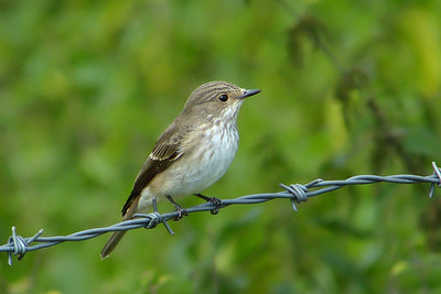 Spotted Flycatcher (Muscicapa striata), Great Gaddesden (Watercress Beds), Hertfordshire, 13/09/2012. A migrant dropping in locally. I seem to be finding these everywhere at the moment!