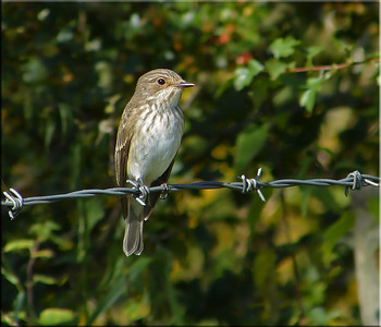 Spotted Flycatcher (Muscicapa striata), Great Gaddesden (Watercress Beds), Hertfordshire, 13/09/2012.