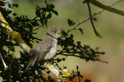 Spotted Flycatcher (Muscicapa striata), Great Gaddesden (Watercress Beds), Hertfordshire, 13/09/2012. I think the bird had a fly stuck in its throat - on a couple of occassions it opened its mouth as wide as possible and stretched its throat. This was mid-action.