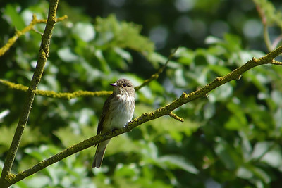 Spotted Flycatcher (Muscicapa striata), Wilstone reservoir, Hertfordshire, 12/07/2012. Another visit this morning to catch up with the progress of the Wilstone pair. It looked like 3 youngsters had fledged that morning with perhaps another still in the nest needing encouragement to leave. The adults were enjoying catching insects from this sunny perch.