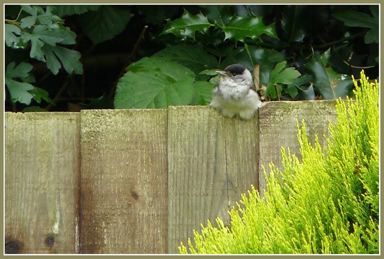 """FINALLY, SOME PEACE AND QUIET!"": Blackcap (Sylvia atricapilla) [male], Hemel Hempstead Garden, Hertfordshire, 27/06/2008."
