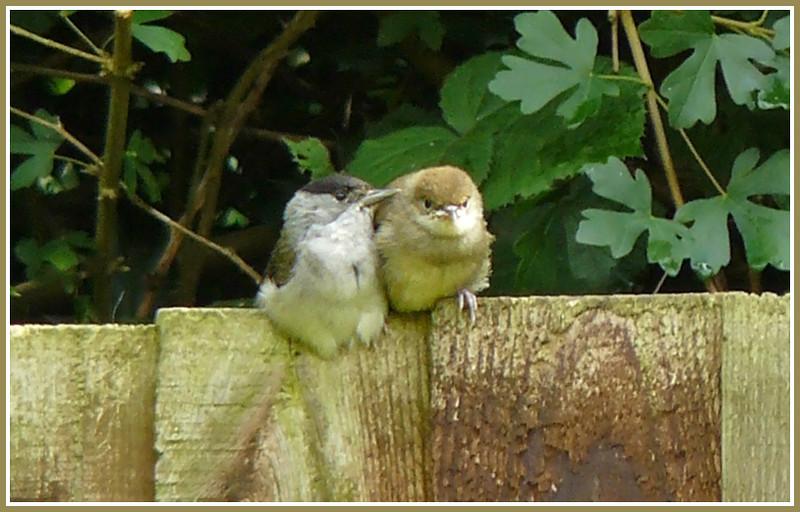 FATHERLY ADVICE: Blackcap (Sylvia atricapilla) [male & 1 juvenile], Hemel Hempstead Garden, Hertfordshire, 27/06/2008.