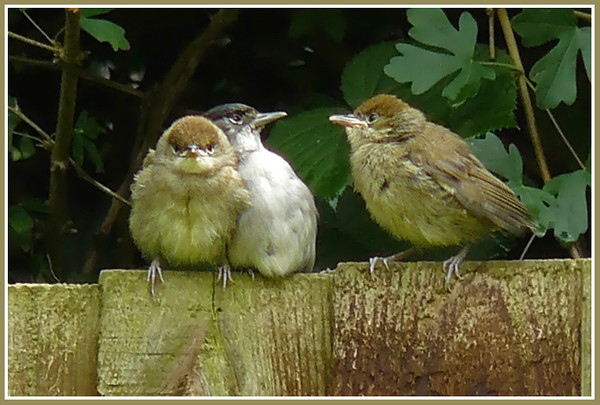 """I SAID, I WANT FOOD!"": Blackcap (Sylvia atricapilla) [male & 2 juveniles], Hemel Hempstead Garden, Hertfordshire, 27/06/2008."