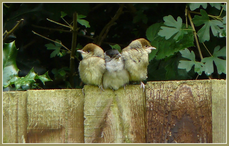 """IT WASN'T ME DAD!"": Blackcap (Sylvia atricapilla) [male & 2 juveniles], Hemel Hempstead Garden, Hertfordshire, 27/06/2008."