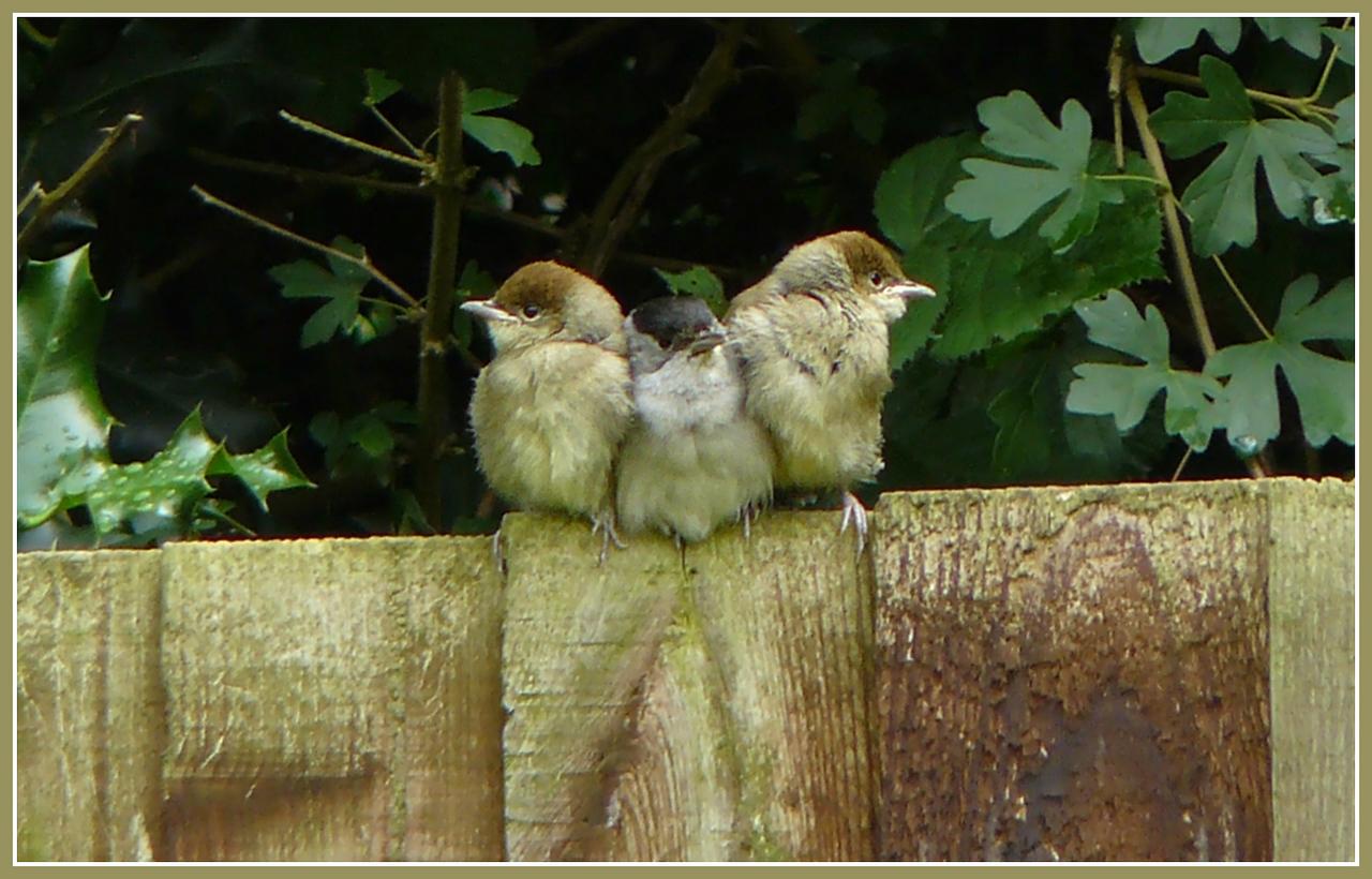 """IT WASN'T ME DAD!"": Blackcap (Sylvia atricapilla) [male & 2 juveniles], Hemel Hempstead Garden, Hertfordshire, 27/06/2008."