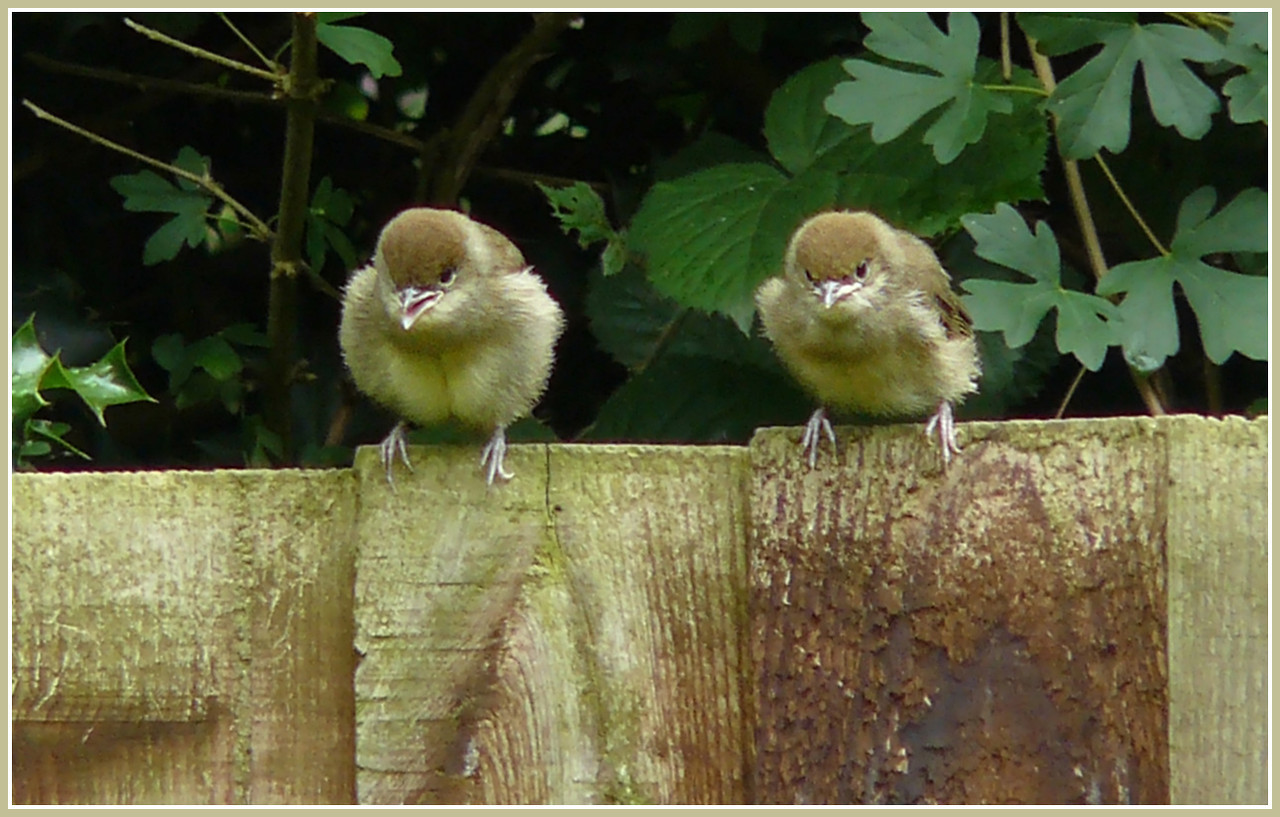 """READY, STEADY, GO!"": Blackcap (Sylvia atricapilla) [2 juveniles], Hemel Hempstead Garden, Hertfordshire, 27/06/2008."