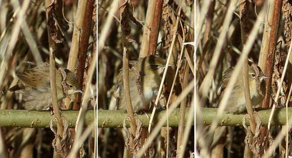 Grasshopper Warbler (Locustella naevia) [male], Marsworth reservoir, Buckinghamshire, 22/04/2012. Composite of 3 shots. He spent most of the 2+ hours, whilst I waited/watched, deep in the scrub - these were the best views I could get initially.