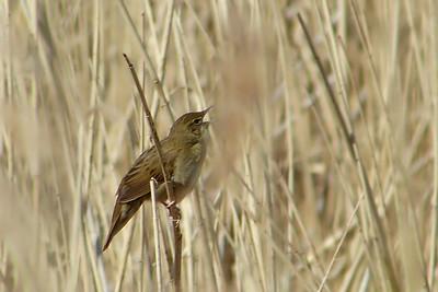 Grasshopper Warbler (Locustella naevia) [singing male], Marsworth reservoir, Buckinghamshire, 22/04/2012.