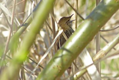 Grasshopper Warbler (Locustella naevia) [male], Marsworth reservoir, Buckinghamshire, 22/04/2012. Singing from the scrub.
