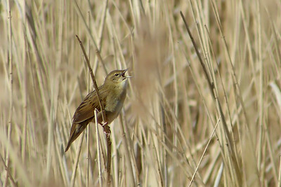 Grasshopper Warbler (Locustella naevia) [singing male], Marsworth reservoir, Buckinghamshire, 22/04/2012. My first sighting of this species. After waiting/watching for 2+ hours and only getting brief/obscured views, he finally came into the open for a short burst of song before returning to the safety of the bushes. After trying for him on two previous occasions, spending an hour+ waiting on each of those, I was more than happy to get this shot!
