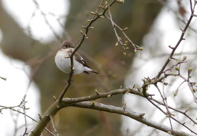 Pied Flycatcher (Ficedula hypoleuca) [female], Weston Turville Reservoir, Nr Tring, Buckinghamshire, 18/04/2013. As well as the Pied Flycatcher, there must have been at least 10 Willow Warblers and a handful of Chiffchaff all flitting about in the trees along a 50 metre stretch by the side of the reservoir. These too would occasionally dart out to flycatch.