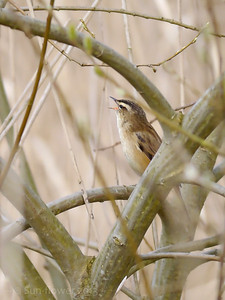 Sedge Warbler (Acrocephalus schoenobaenus) [singing male], Marsworth reservoir, Nr Tring, Buckinghamshire, 23/04/2013. This one appealed to my artistic side... The bird is perched in the centre of a Willow and singing out across the expanse of the reedbed.