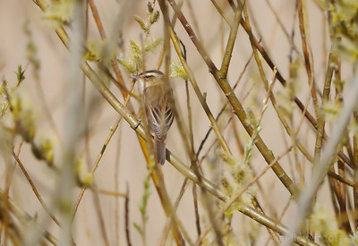 Sedge Warbler (Acrocephalus schoenobaenus) [singing male], Marsworth reservoir, Nr Tring, Buckinghamshire, 23/04/2013. A very typical view today - an obscured bird....but I rather liked it.