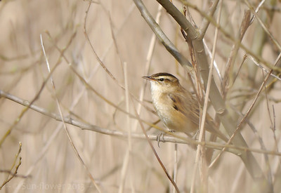 Sedge Warbler (Acrocephalus schoenobaenus) [singing male], Marsworth reservoir, Nr Tring, Buckinghamshire, 23/04/2013. Shooting through the heads of the Phragmites - just managed to get the head of the bird clear-ish!