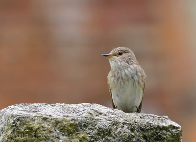 Spotted Flycatcher (Weston Turville)
