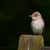 Spotted Flycatcher (Muscicapa striata), Weston Turville, Buckinghamshire, 26/06/2013