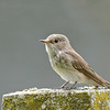 Spotted Flycatcher (Muscicapa striata), Weston Turville, Buckinghamshire, 19/06/2013.