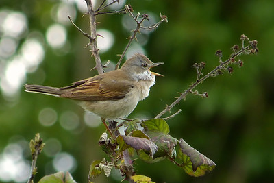 Whitethroat (Sylvia communis), Bledlow, Buckinghamshire, 11/05/2012.