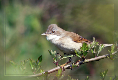 Whitethroat (Sylvia communis) [female], Ivinghoe Beacon, Buckinghamshire, 19/05/2011.