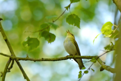 Wood Warbler (Phylloscopus sibilatrix), Frogmore, Nr St Albans, Hertfordshire, 27/05/2012. I've never seen a bird throw their head back so far in order to sing to the skies as this little chap did.