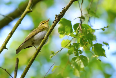 Wood Warbler (Phylloscopus sibilatrix), Frogmore, Nr St Albans, Hertfordshire, 27/05/2012.