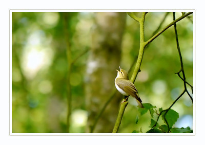 Wood Warbler (Phylloscopus sibilatrix), Frogmore, Nr St Albans, Hertfordshire, 27/05/2012. Having been shooting in shade with backlighting, the camera was set up all wrong when the bird finally came into the light. I didn't have time to change the settings and I'm not sure where the focus locked on to, so, technically not a good shot but I kinda liked it anyway.