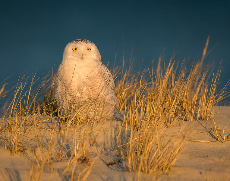 Sunset Snowy Owl