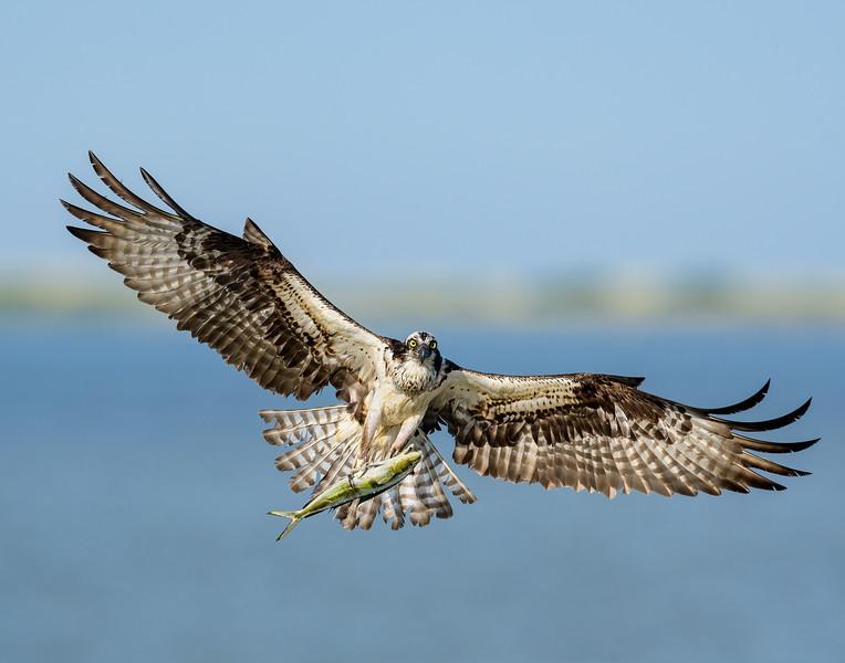Osprey with Mahi Mahi