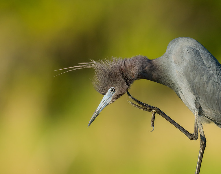 Little Blue Heron on Assateague