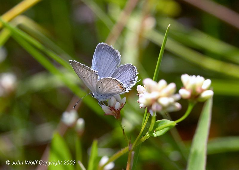 <b> Eastern Tailed Blue </b> <i> Everes comyntas