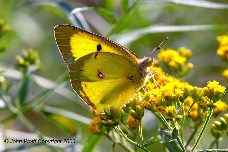 Backlit <b> Clouded Sulphur </b> <i> Colias philodice </i>