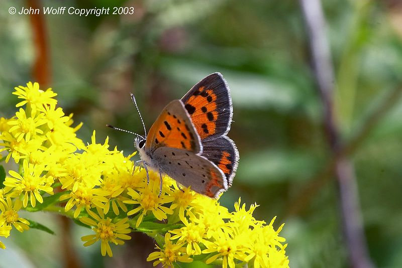 <b> American Copper </b> <i> Lycaena phlaeas </i>