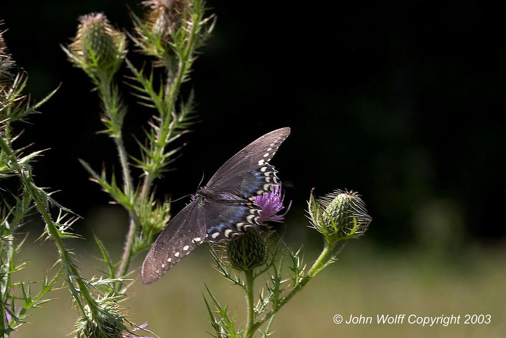 <b> Spicebush Swallowtail </b> <i> Papilio troilus </i>