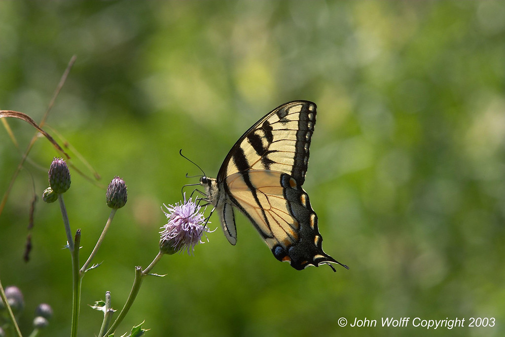 <b> Eastern Tiger Swallotail </b>  <i> Papilio glaucus </i>