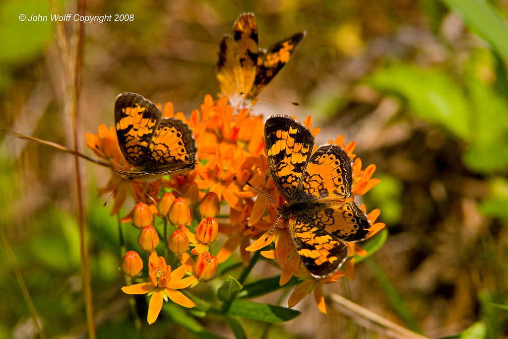 Peral Crescents on a Butterfly Weed