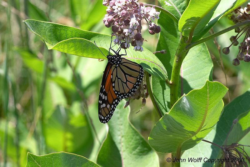 <b> Monarch  </b>  <i> Danaus plexippus </i>