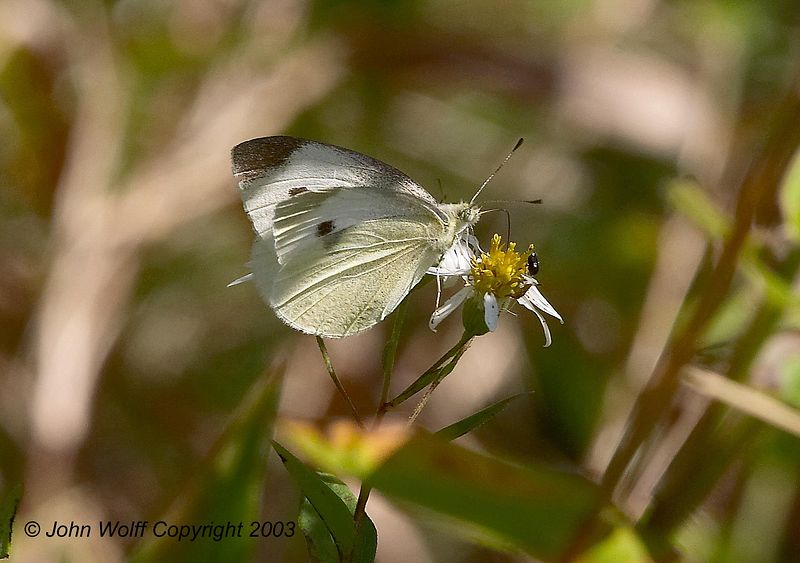 <b> Cabbage White <b> <i> Pieris rapae </i>