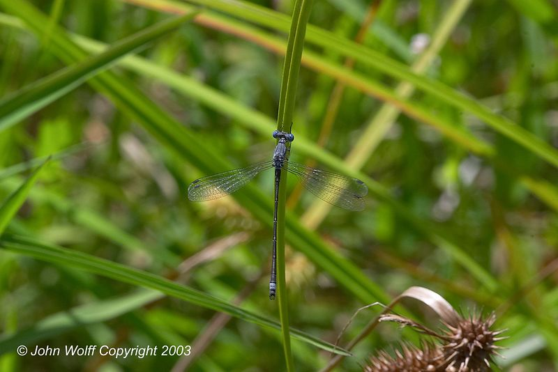 <b> Spotted Spreadwing </b> <i> Lestes congener  </i>