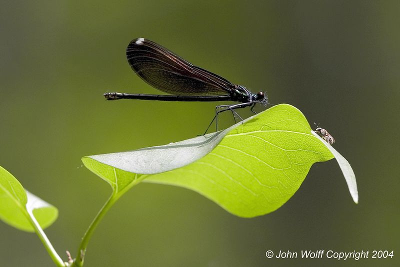 Ebony Jewel Wing