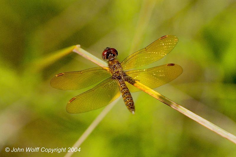 Eastern Amberwing (M)