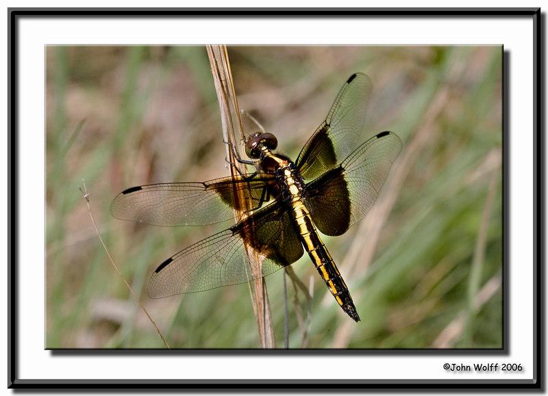 <h3>Widow Skimmer - female</h3>