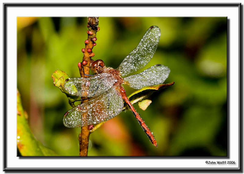 <h3>Meadowhawk with morning dew</h3>