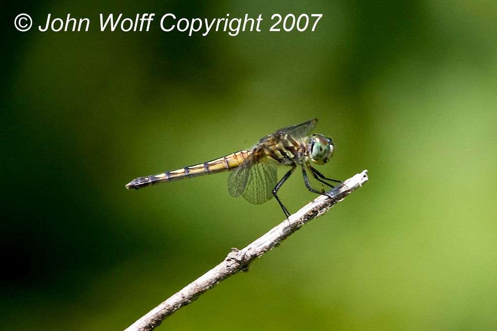 <h3>Blue Dasher - female</h3>