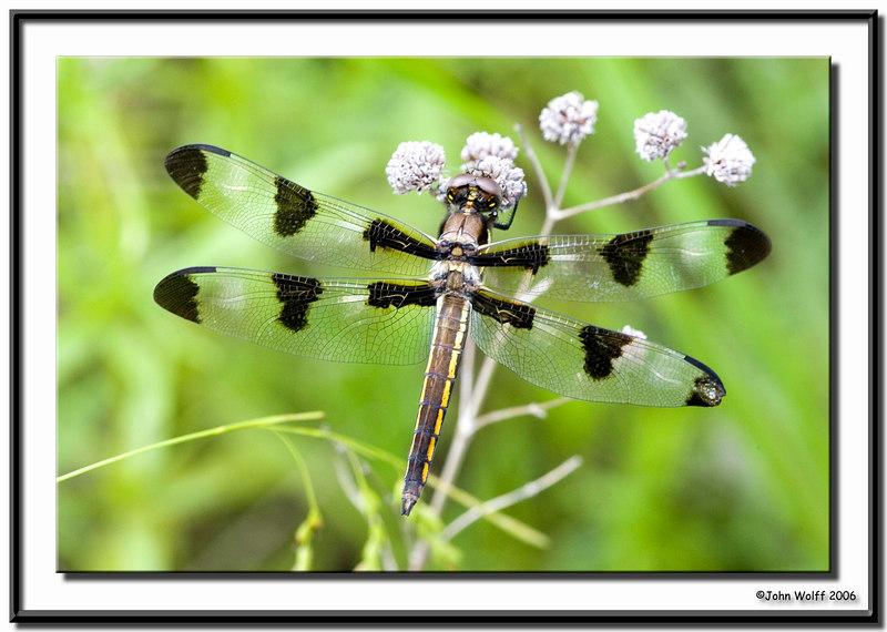 <h3>12 Spotted Skimmer - female</h3>