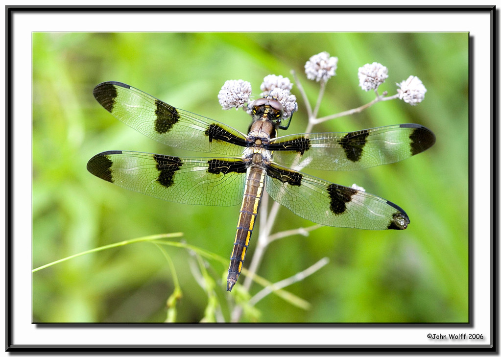 <h3>12 Spotted Skimmer - female</h3>