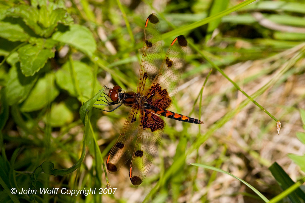 <h3>Calico Pennant female</h3>